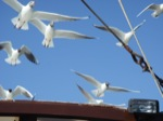 sea gulls on the Galilee